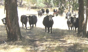 photo of a small mob of black and white cattle