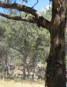 photo shows gum trees on higher slope