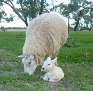 photo of Texel lamb and ewe