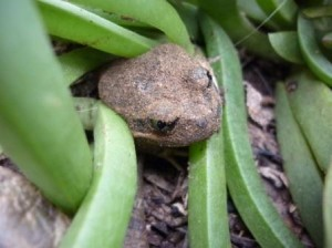 photo shows head of Mallee Spadefoot emerting from pigface
