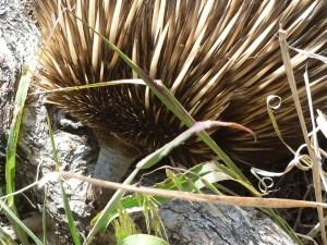 photo of an echidna's snout