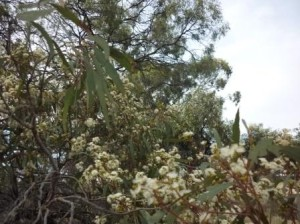 photo shows Black Box branches loaded with blossom