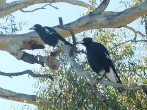 photo shows two magpies in a Yellow Gum