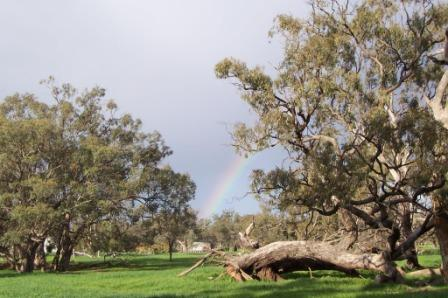 photo shows green pasture, mature Black Box Trees with a rainbow between them